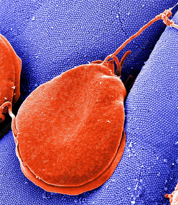 szarvasmarha fertőzés milyen gyógyszereket kell adni a férgek megelőzésére