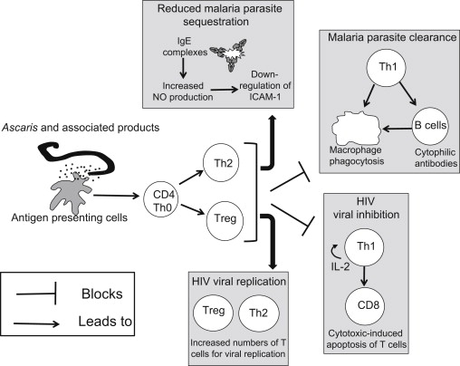 ascaris antigén pozitív férgek milbemax után