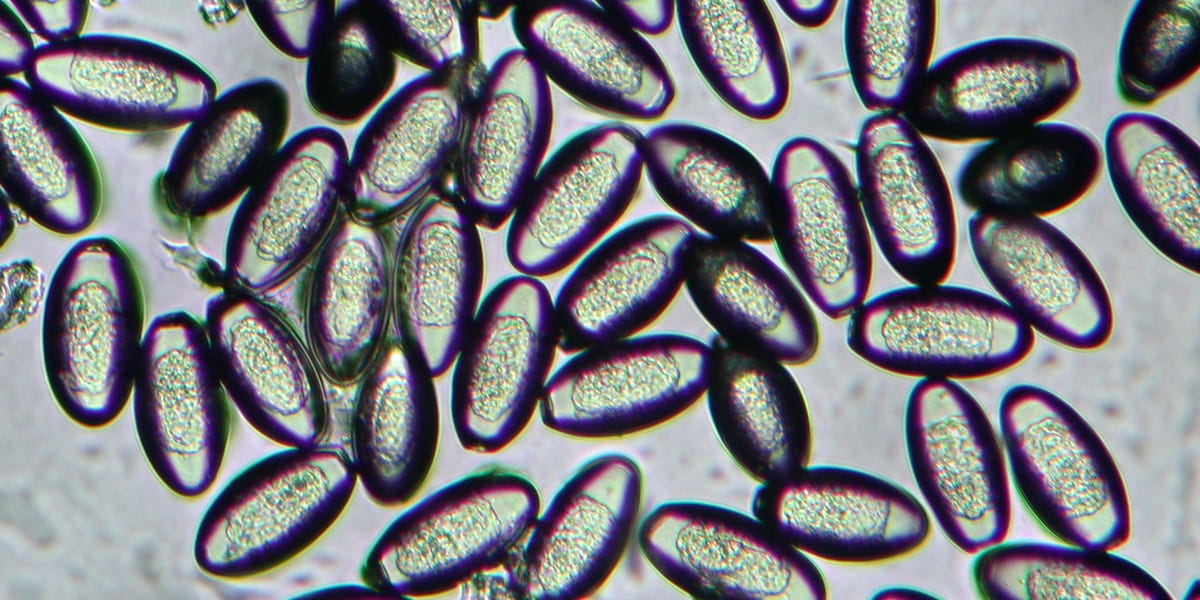 pinworm tamponok