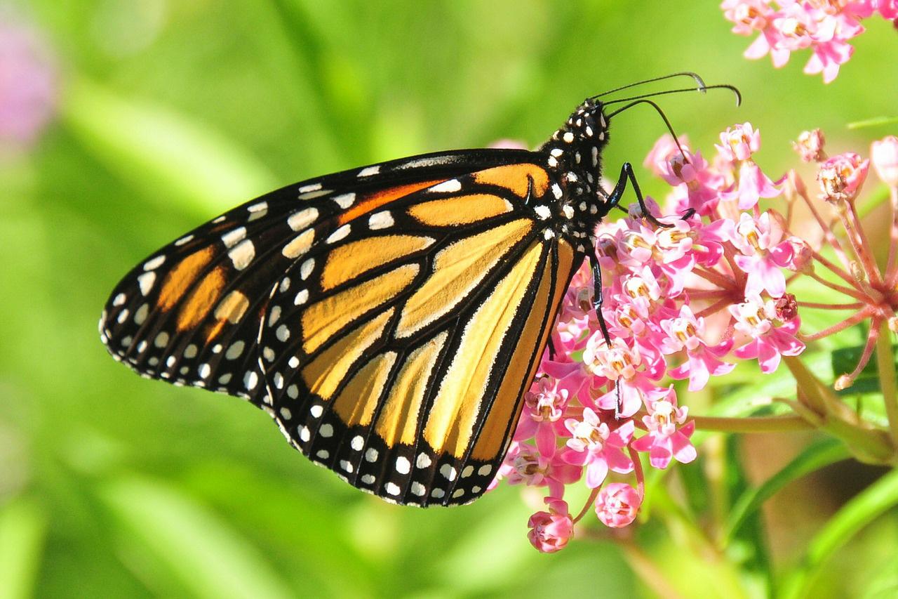 pillangók paraziták giardia bebélusi simptome