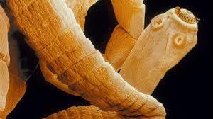 haztartasi paraziták a körömférgek legjobb gyógymódja
