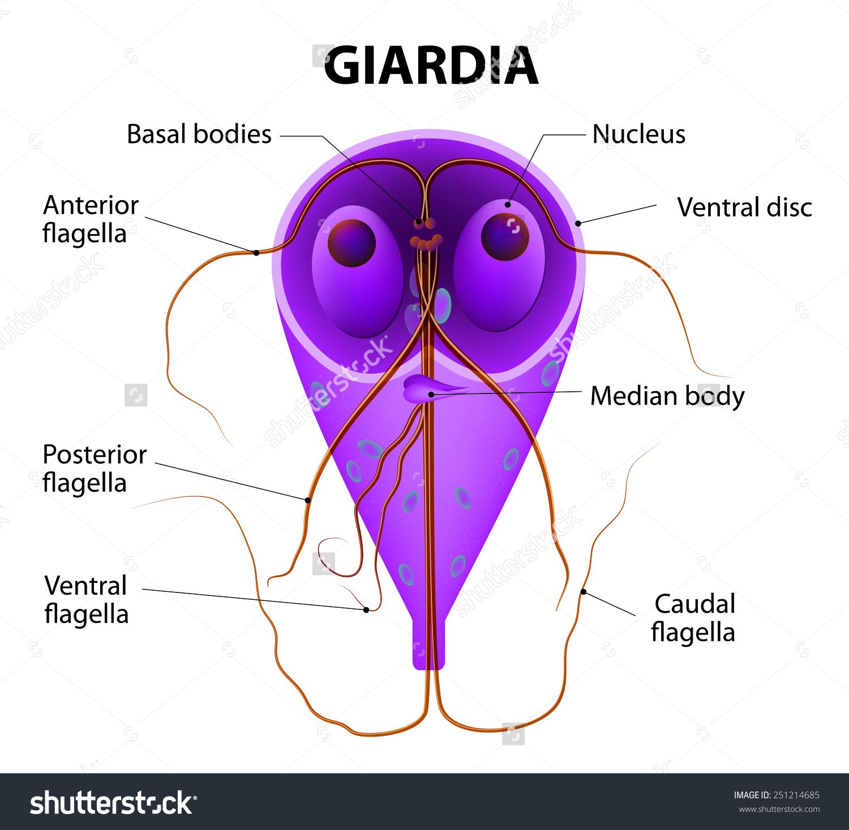 Felnőttkori giardiasis kezelése gelmadollal