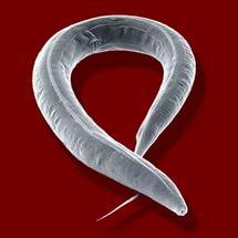 az emberben élő helminták típusai és hogyan rothadt lehelet gyomor