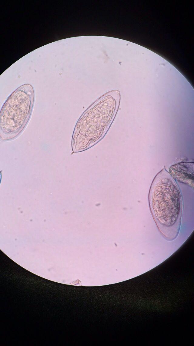 Enterobiasis fisiopatologia,