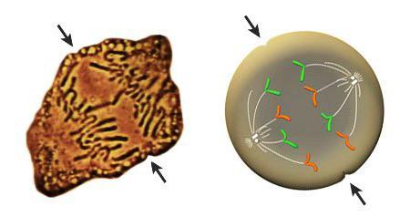 Ascaris kromoszómák