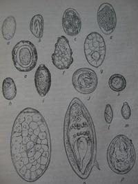 Orsóféreg: tünetek felnőtteknél. Ascaris gyermekeknél Ascaris tojás felnőtteknél