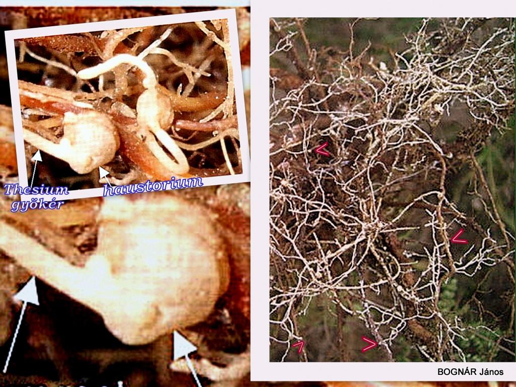 cseppek Gelmifort parazitákból, férgekből és baktériumokból Helmifort