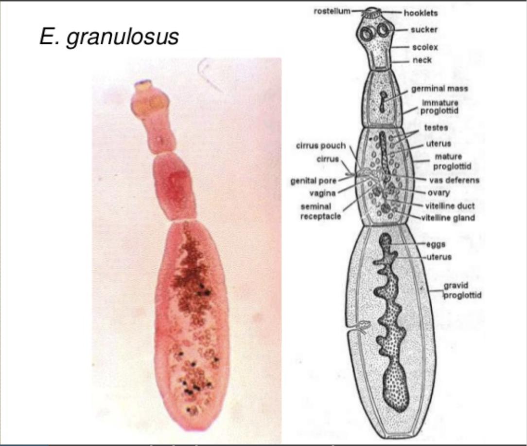 Hogyan lehet eltávolítani pinworms felnőttek