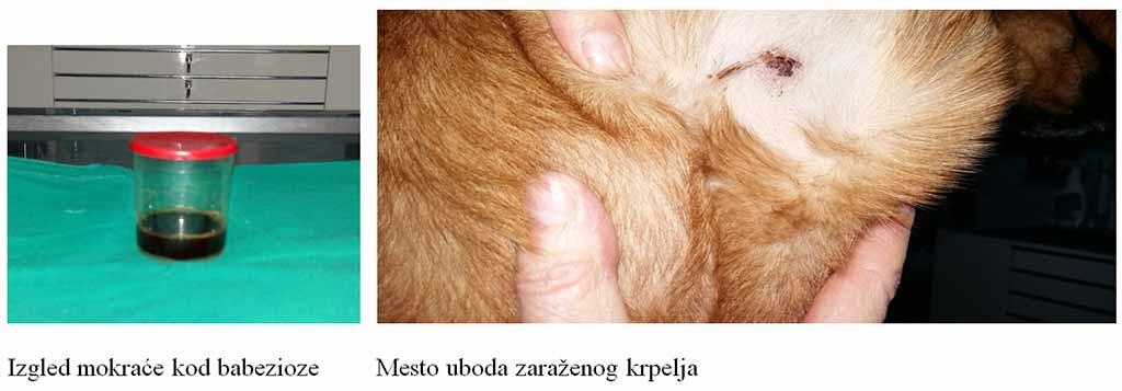 Giardia parazit kod pasa - Ahol a helminthiasist kezelik