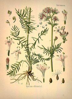 gyógynövények gyűjteménye antihelminthic