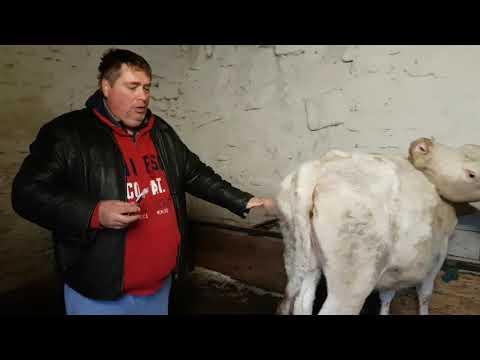 Egy bika láncának megjelenése - Fotó és videó a szarvasmarha-láncról az emberekben
