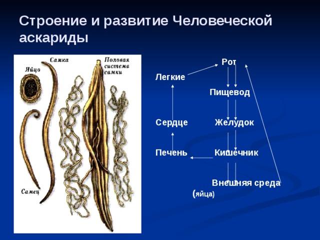 Contoh nemathelminthes dan peranannya