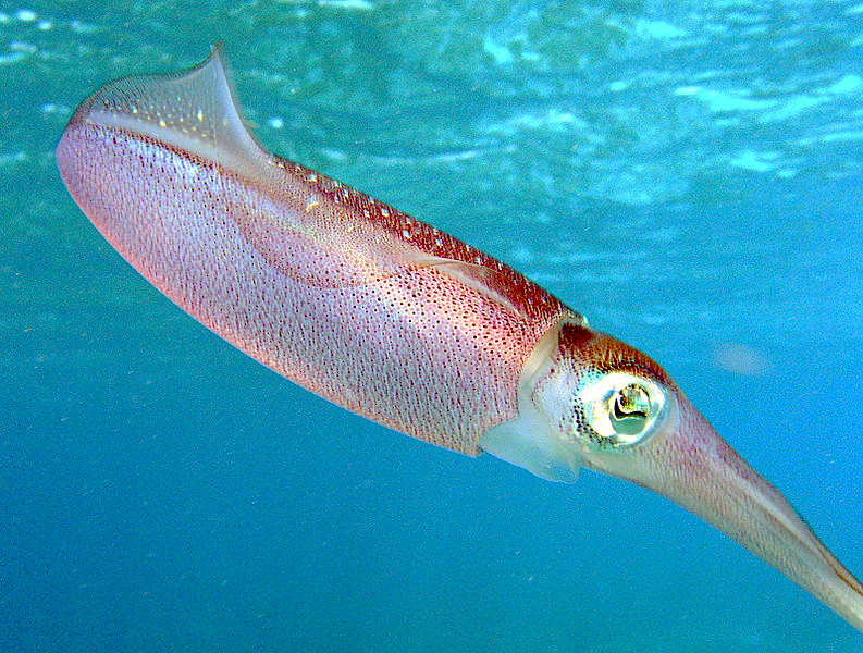 Laposféreg (Platyhelminthes)