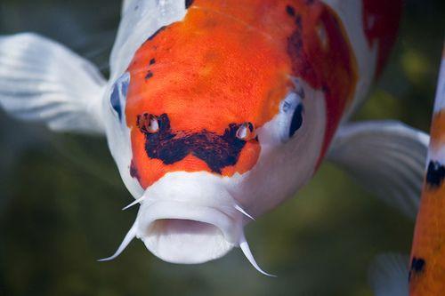 a halak paraziták helminthiasis kezelés terhesség alatt