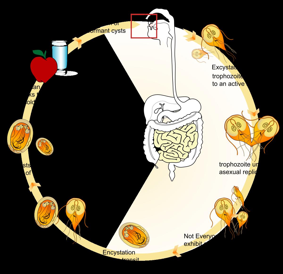 Leishmania (kivonat a bbc-ből - paraziták az emberi testvágóban) (2004)