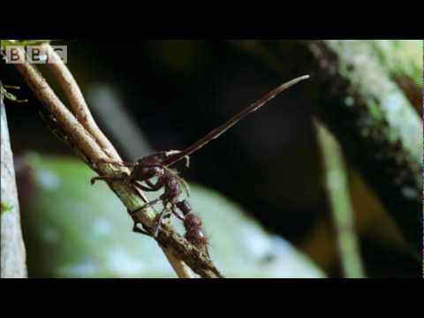 a hiperparaziták parazitái