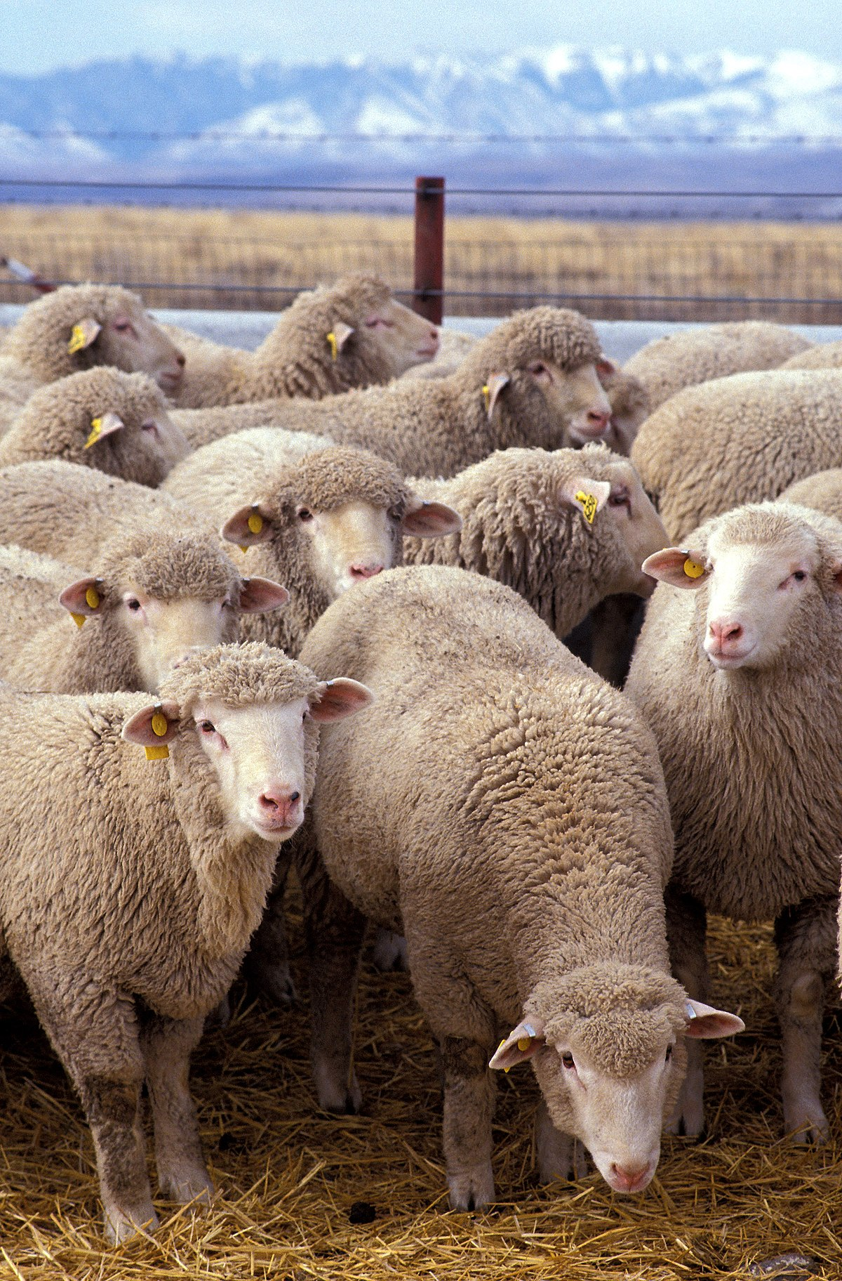 hogyan lehet eltávolítani a férgeket a bárányból