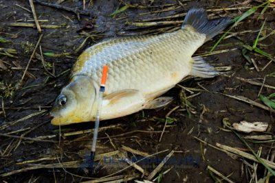 Lehet e halat harapféreggel is enni