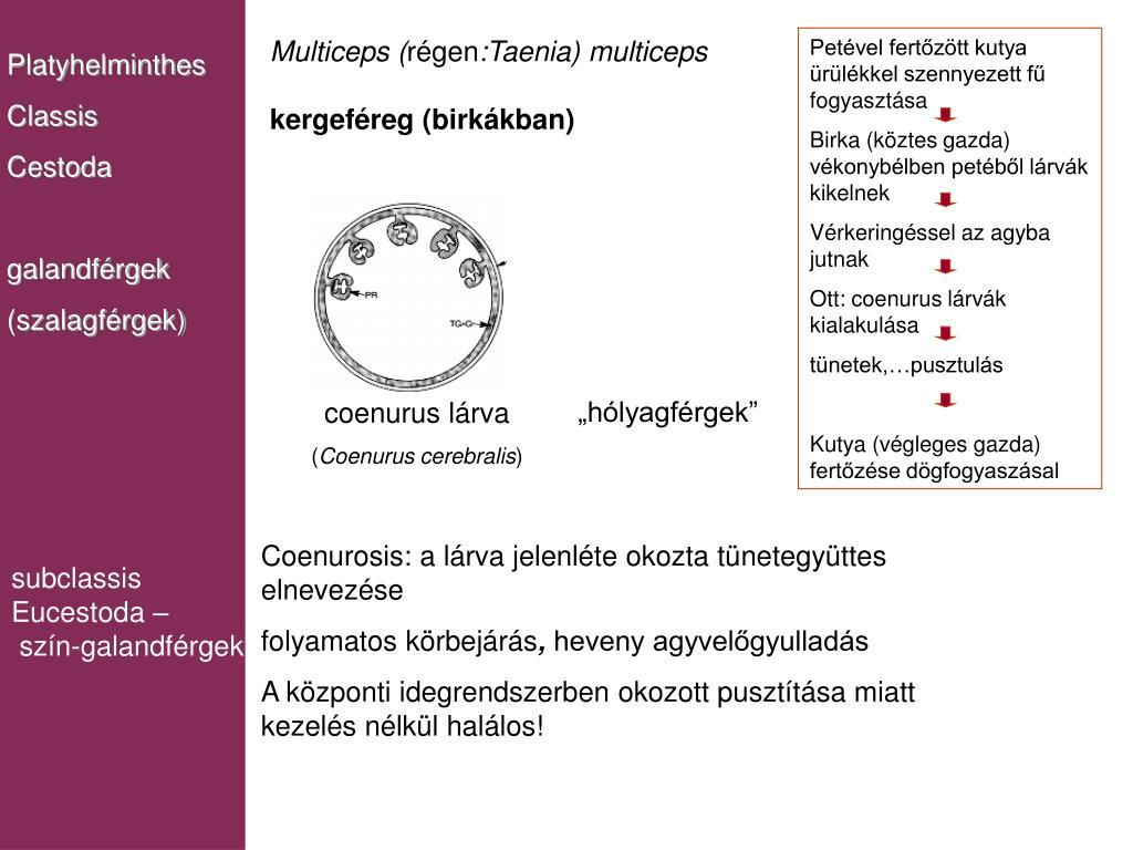 fascioliasis a végső gazda korbféreg hím