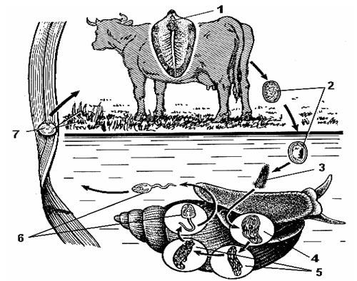 Annelida Bevezetés - gyűrűsférgek. Bevezetés az állattanba - PDF Free Download