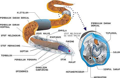 Gambar anatomi nemathelminthes. Csigák – Wikipédia