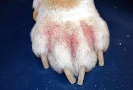 Allergiák macskákban: okok, tünetek és kezelés módszerei otthon - Allergének