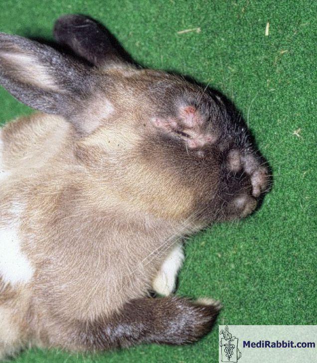 ascaris ciszták az enterobiasis kórokozója