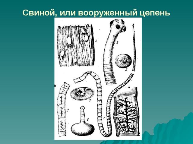 Paraziták férgek helminták a testben - Higiénia és higiénia - helminták