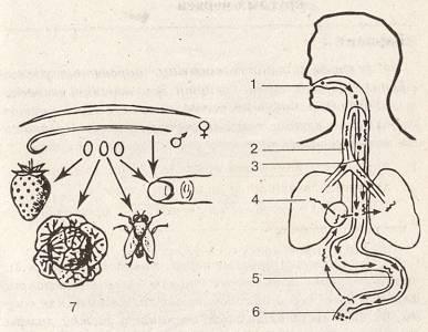 A szarvasmarha szalagféreg emésztőrendszerrel rendelkezik eraquell fereghajto