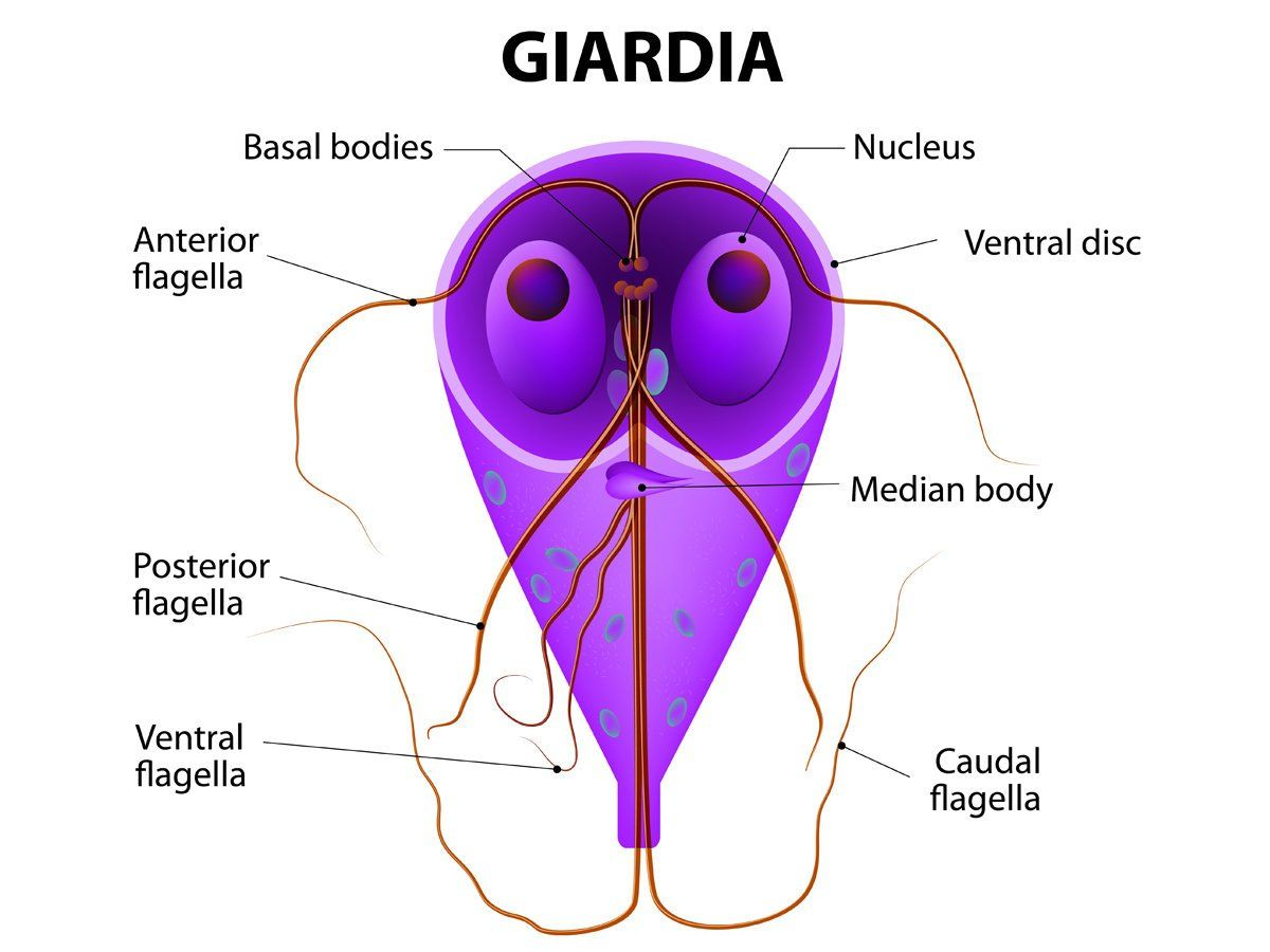 Giardia infection in humans - Szalagféreg cysticercosis