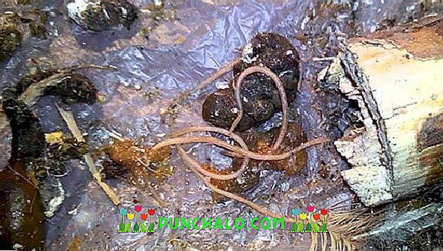 hagyma a rossz leheletért pinworm sanoxal