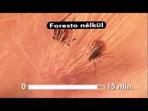 szalagféreg törpe betegség