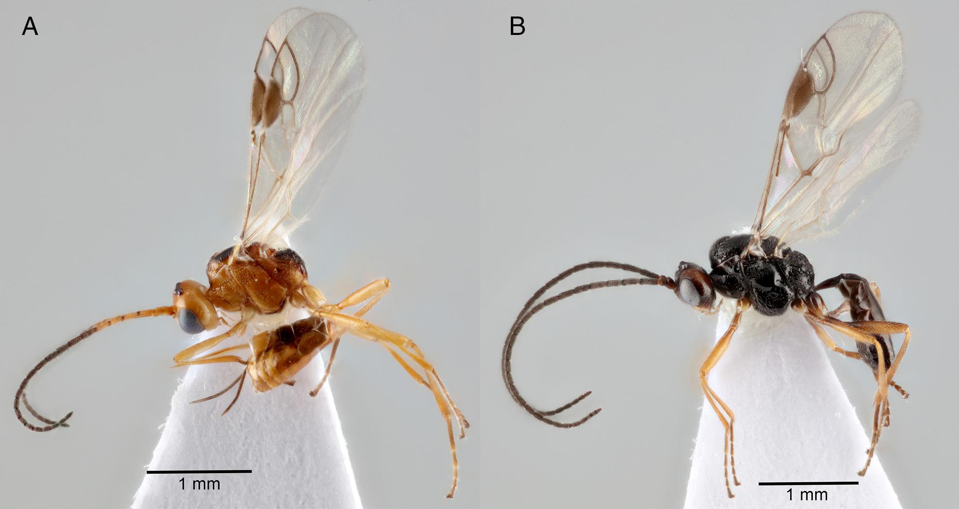 Egy parazita darázs segítheti a vegyszermentes rovarirtást | National Geographic