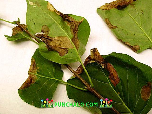 parazita a leveleken parazita tisztító módszerek