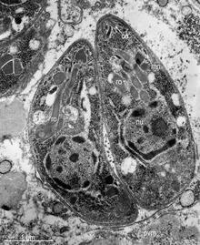 protozoan paraziták leishmaniasis Mekkora a féreg hossza