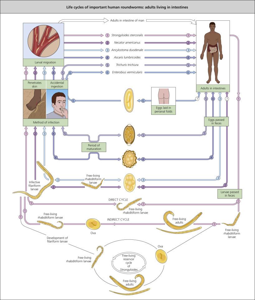 enterobiosis geohelminthiasis Giardia és helminták tünetei