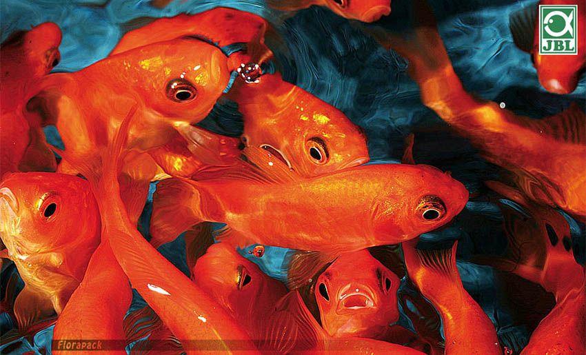 belső élősködés a halak számára