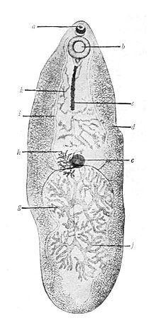típusú paraziták tünetek férgek a gyomorban a gyermek