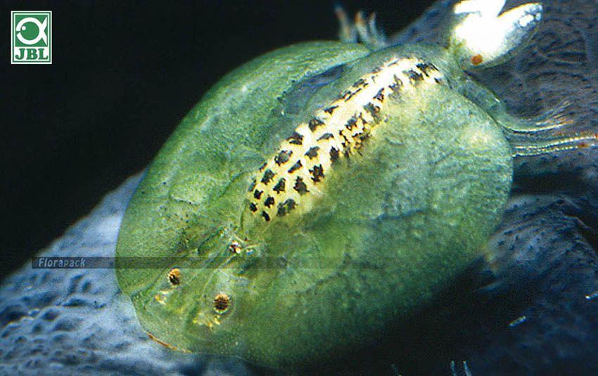 Alga és parazita mentesítés