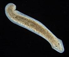 helminthiasis férgek hogyan kezelik a parazitákat népi gyógyszerekkel