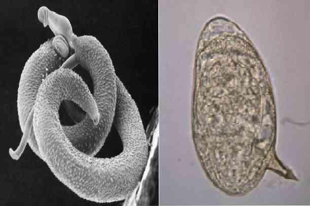 platyhelminthes reprodukció