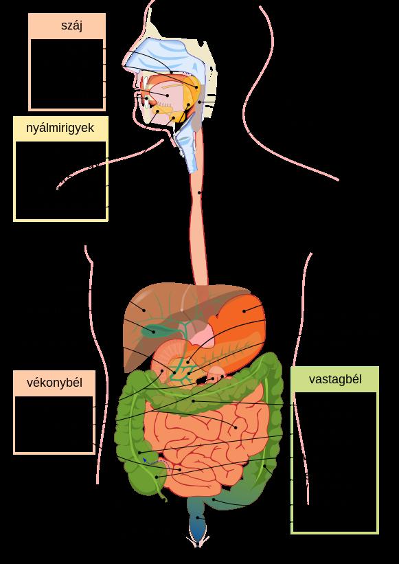 férgek egy gyomorban hányó gyomorban rossz lehelet toxikózissal