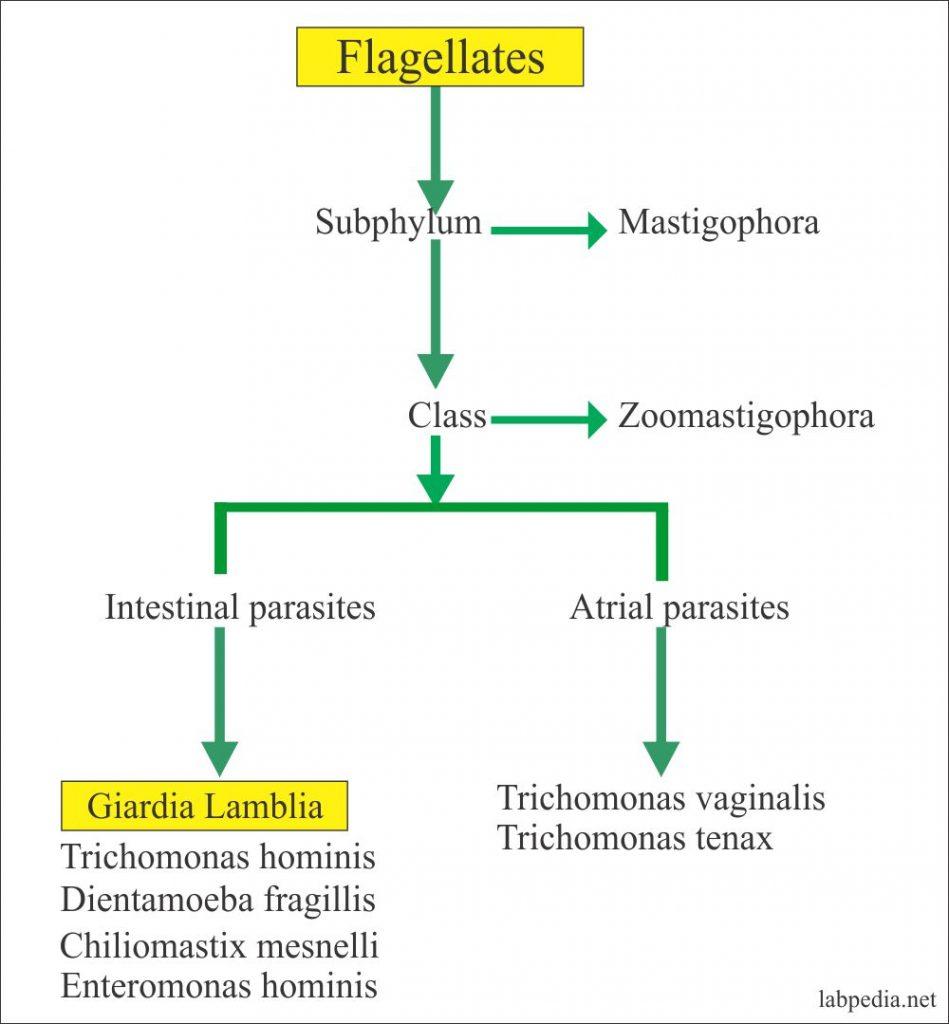 A giardiasis kezelésének hatékony módszerei