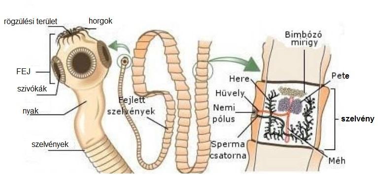 széles vonalú parazita orvosság