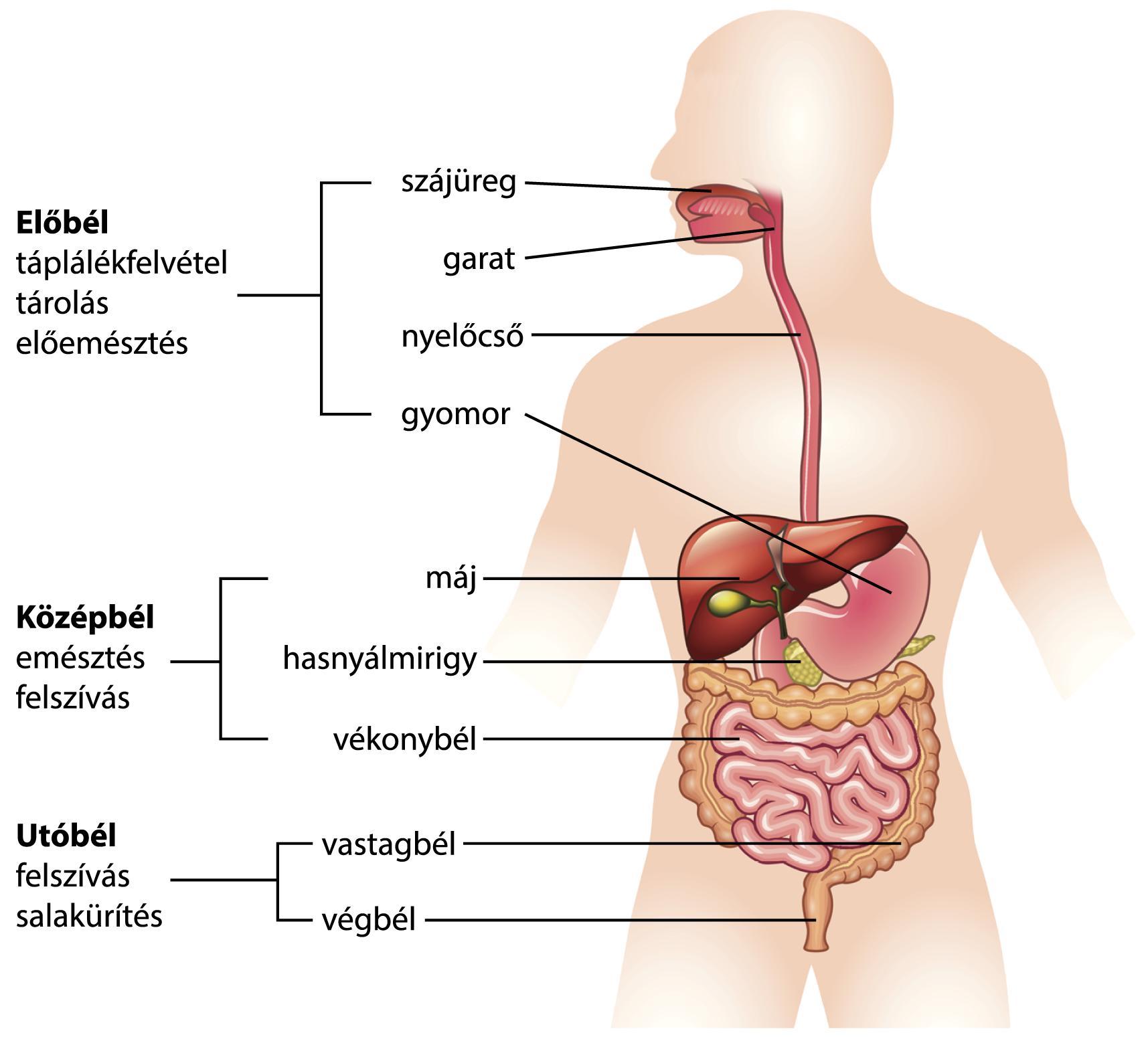 milyen rossz lehelet kapcsolódik a gyomorhoz