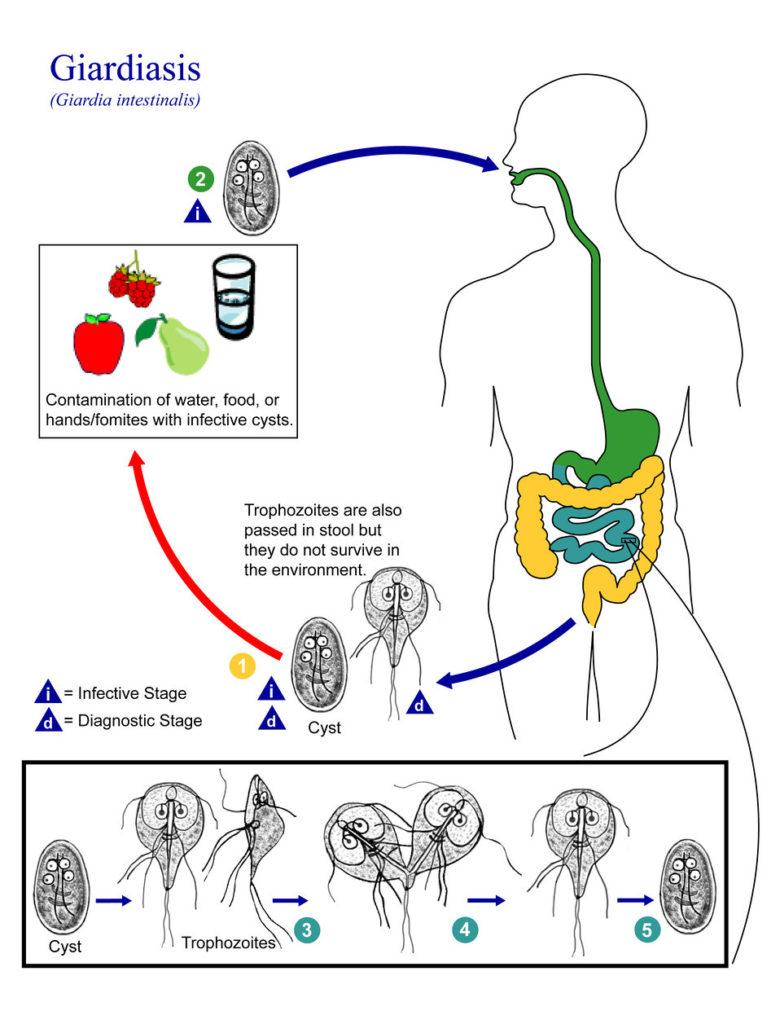 Giardiasis life cycle