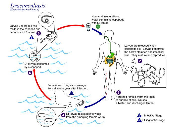 nemosol parazita kezelés bika szalagféreg hossza és szélessége