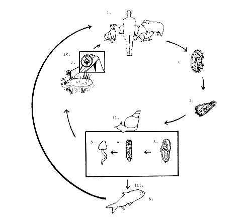 trichinella ciklus szalagféreg parazita