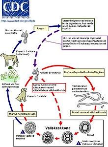 milyen szervrendszer hiányzik a féregféregben paraziták bélcsík jellegzetesség