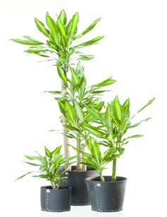 paraziták a szobanövények számára